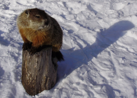 Photo from Twin Cities Natural Site, shows groundhog in winter with shadow