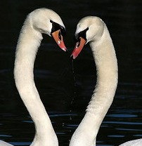 Photo of two swans with necks touching as they swim on lake, courtesy of photophilde on Flickr